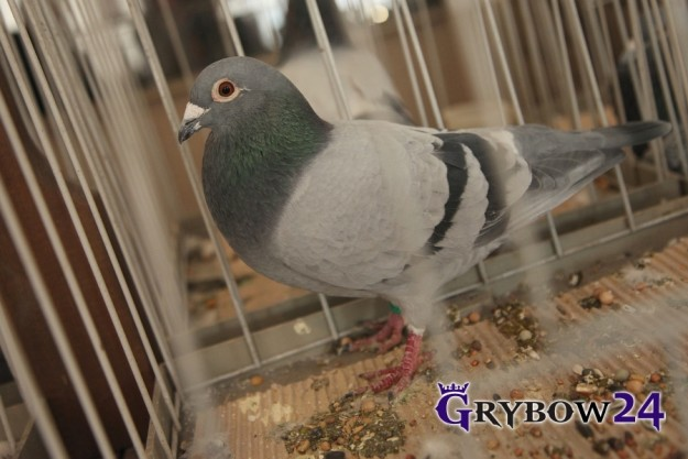 Grybow24.pl: Wystawa gołębi pocztowych