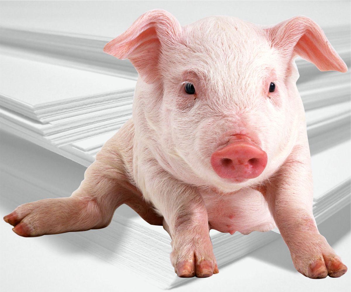 Rejestracja świn