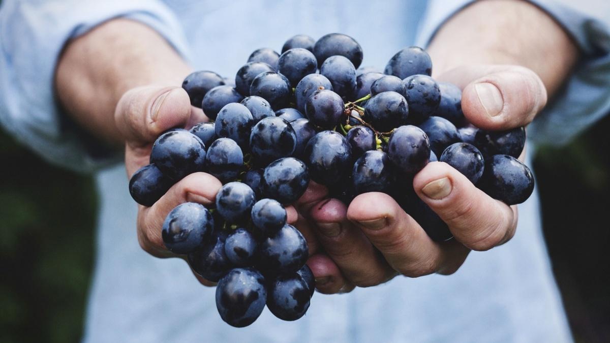 Mężczyzna trzymający wgarści kiść czarnych winogron